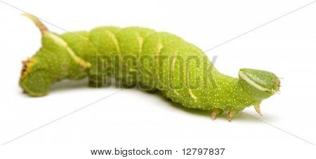 Lime Hawk-moth caterpillar - Mimas tiliae in front of a white background