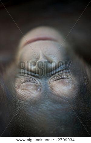 Orangutan newborn baby 1 months - Pongo pygmaeus