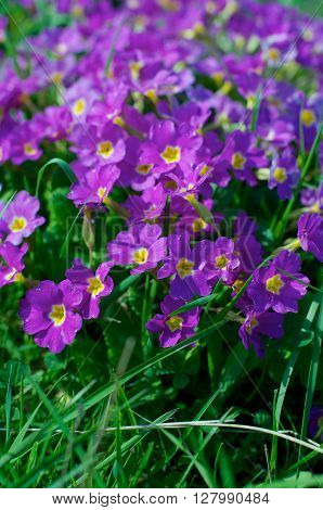 Field of Beautiful Purple and Yellow Primroses (Primula) closeup Outdoors