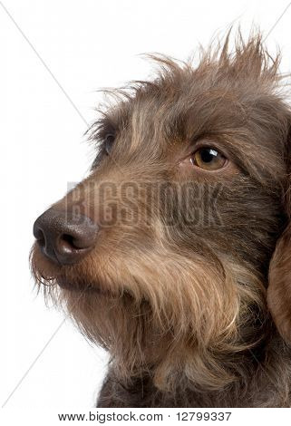 Brown Wire-haired dachshund (3 yeras old) in front of a white background