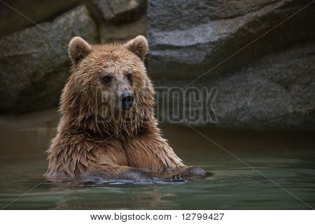 Brown bear in a swimming pool