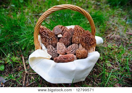 Basket Of Fresh Morel Mushrooms