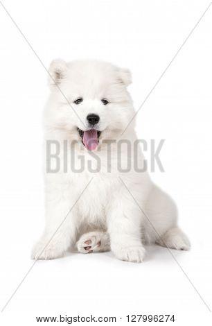 Seven months old Samoyed puppy dog isolated on white background