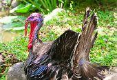 foto of turkey-cock  - turkey on green grass  - JPG