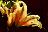 Golden Lilly