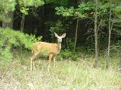 image of safe haven  - a deer looks out from a safe haven of trees - JPG