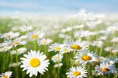 stock photo of daisy flower  - field of daisy flowers - JPG