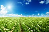 stock photo of potato-field  - potatos field and sunny summer day - JPG