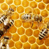 image of honey-bee  - Macro of working bee on honeycells - JPG