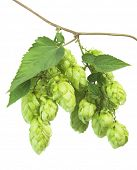 stock photo of hop-plant  - Close up view of single hop cone with leaf - JPG