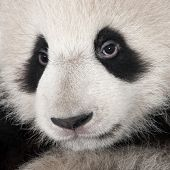 stock photo of endangered species  - Giant Panda  - JPG