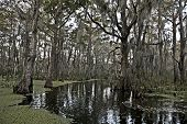 stock photo of bayou  - Swamp near New Orleans - JPG