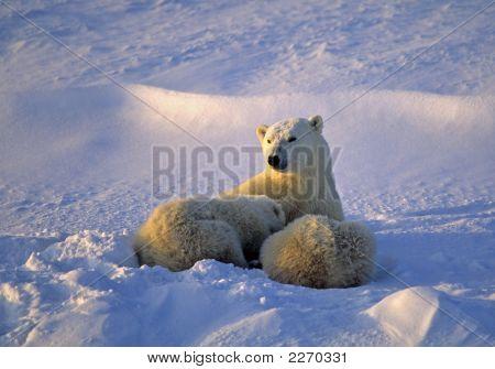 Polar Bear Nursing. Low And Strong Side Lighting.