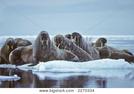 Walrus On Ice Flow