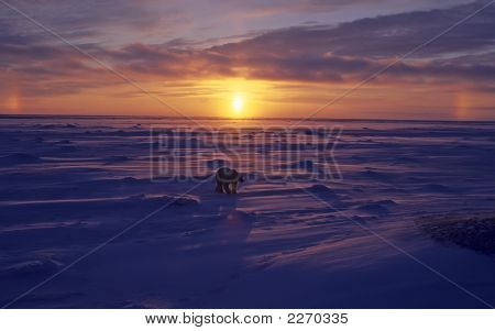 Polar Bear In Arctic Sunset