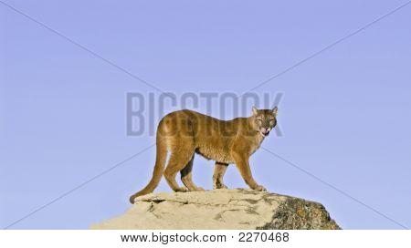 Puma en el borde de la roca