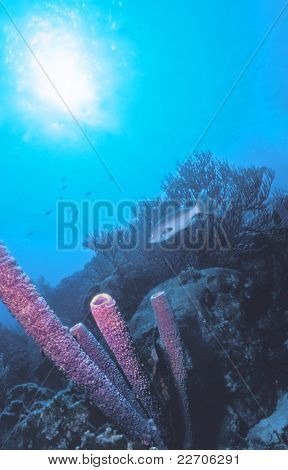 Belize Tube Sponges
