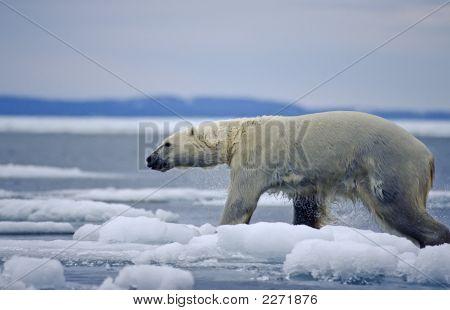 Polar Bear Crossing Ice Floe