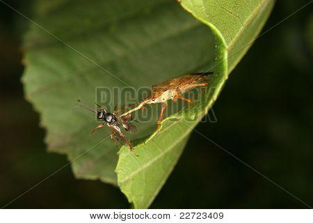 Bug assassino (Reduviidae)