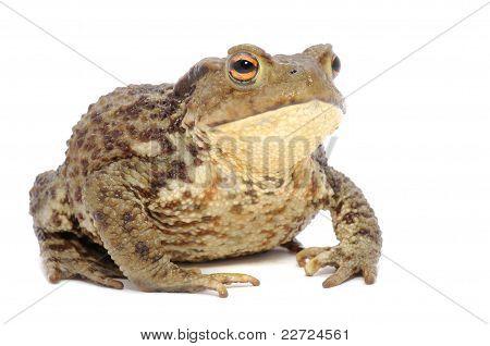 Brown Frog