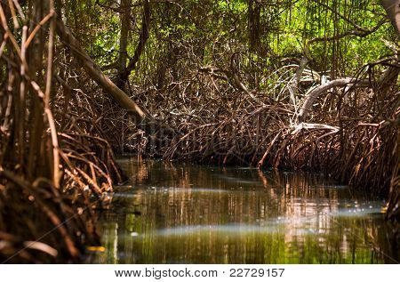 Bosques de mangue