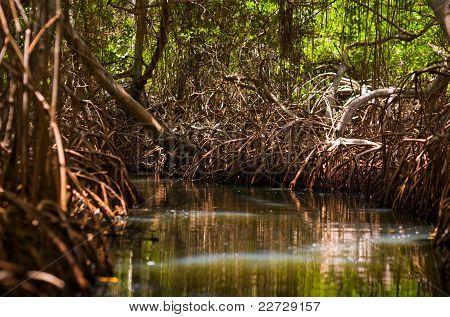 Mangrove Woods