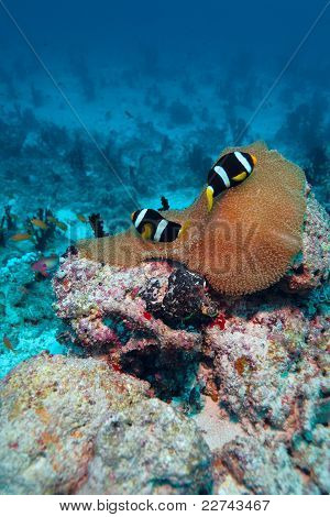 Anemone fish (amphiprion Sebae) In A Sea Anemone (heteractis Magnifica), Maldives