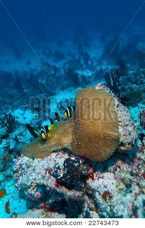 Anemonefish (amphiprion Sebae) In A Sea Anemone (heteractis Magnifica), Maldives