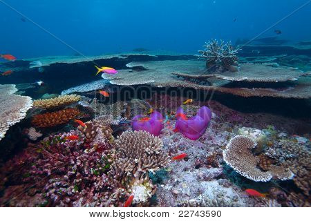 Maldive Anemonefish (amphiprion Nigripes) In A Sea Anemone (heteractis Magnifica) And Corals Of Genu