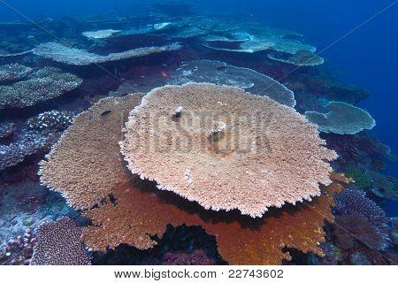 Corals Of Genus Acropora Pharaonis, Maldives