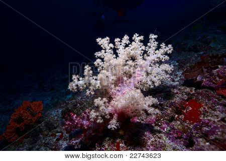 Gorgonian - Soft Coral, Maldives