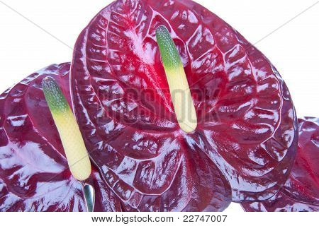 Purple Anthurium (flamingo Flower) Isolated On White