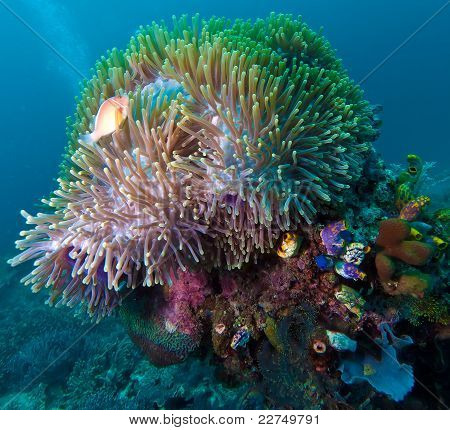 Pink anemonefish (Amphiprion perideraion) in anemone