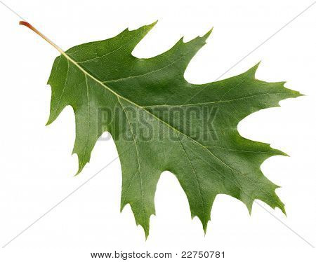 oak leaf closeup isolated
