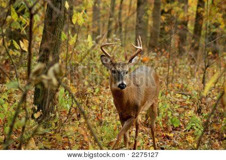 Buck 13