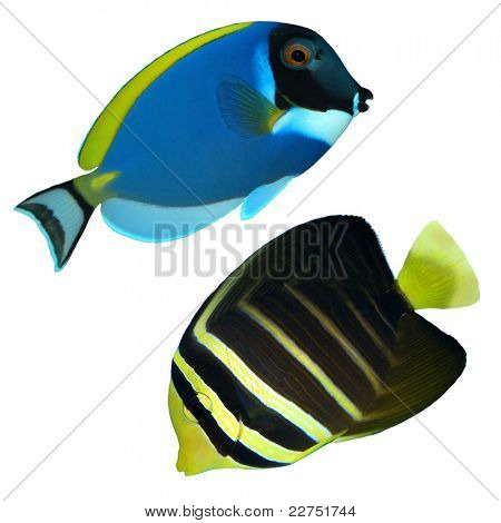 tropical reef fish isolated
