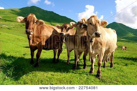 herd of cows in Pass  Tonale-Italy
