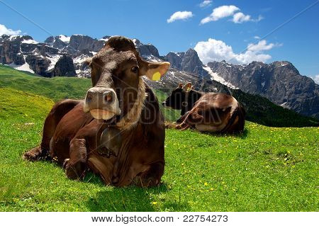 Lying cow pasture behind the mountain Brenta- Dolomites Italy