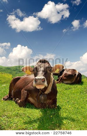 cows in pass tonale italy