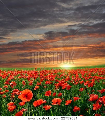 Sunset over field with Red poppies