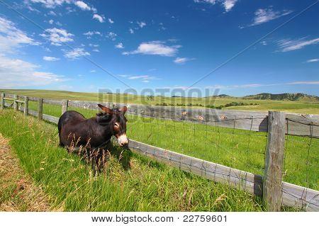 Begging Burro - Custer State Park