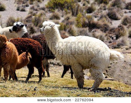 Una manada de alpaca de llamas en Perú