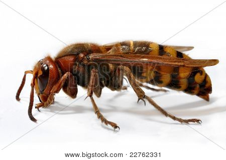European Hornet (Vespa crabro) on white background