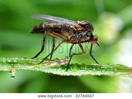 insect Empis tesselata sitting on dewy grass