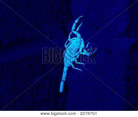 Glowing Scorpion In Blacklight