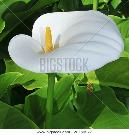 closeup of a Zantedeschia aethiopica or Lily of the Nile