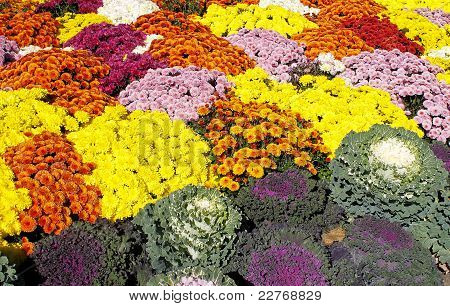 Bed Of Chrysanthemums And Kale