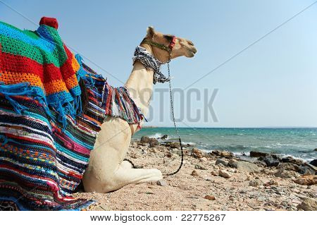 Close-up Camel Sitting at Red Sea beach coast with blue sky, Egypt.