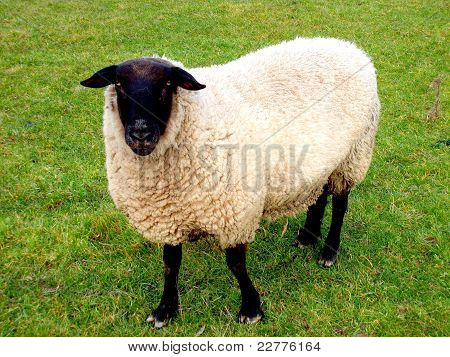 Black faced suffolk ram
