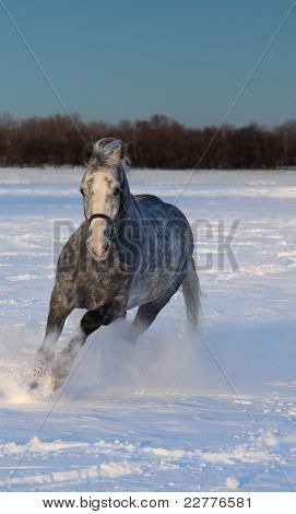 Skipping gray horse